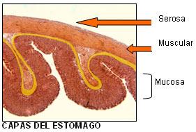 Digestivo Estómago Seom Sociedad Española De Oncología
